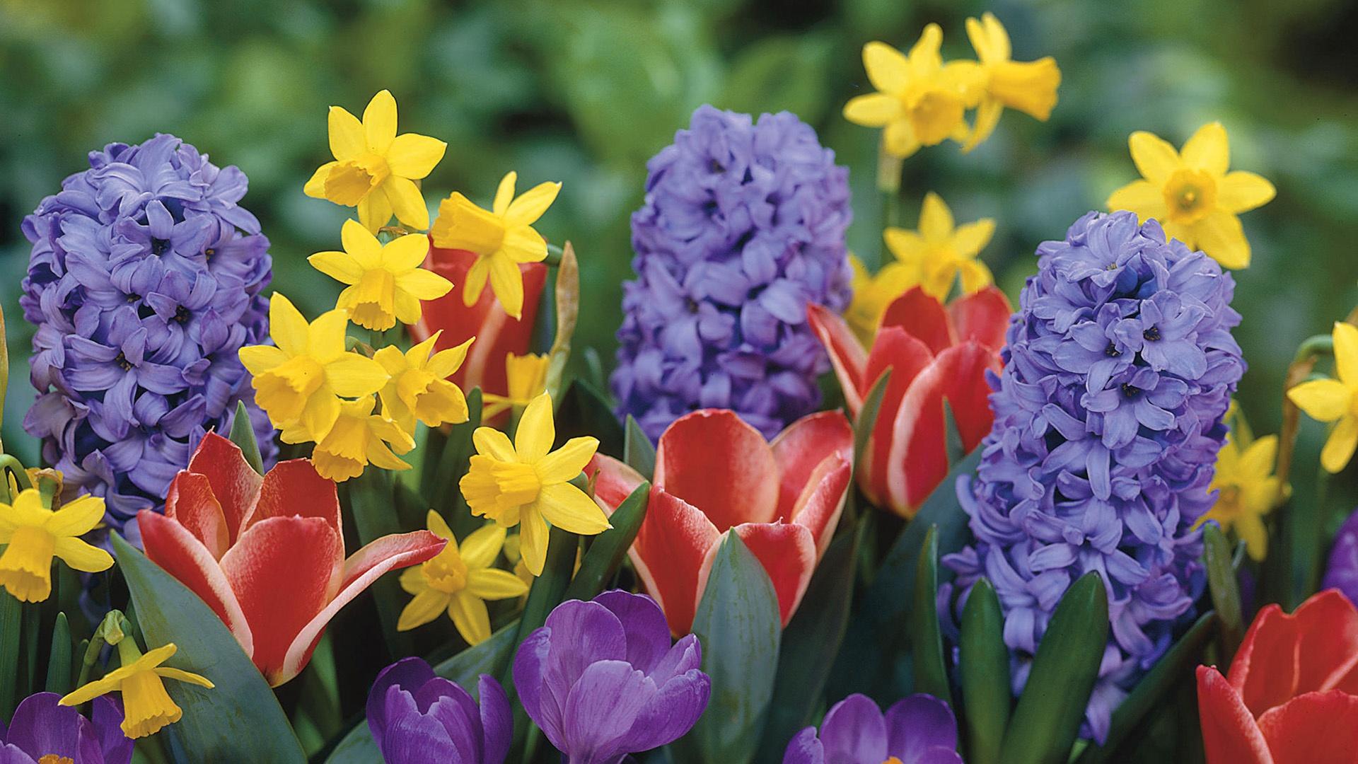 Daffodils-tulips-crocus-hyacinth-flowers_1920x1080